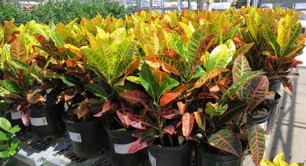 Fall plants crotons in the garden with janet carson for Croton plant