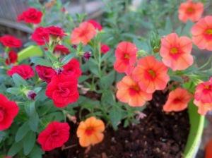 callibrachoa -mini famous double red and apricot3