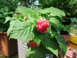 raspberry first flruit.may26.14