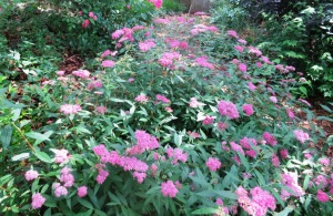 spirea japonica pink blooms may.143