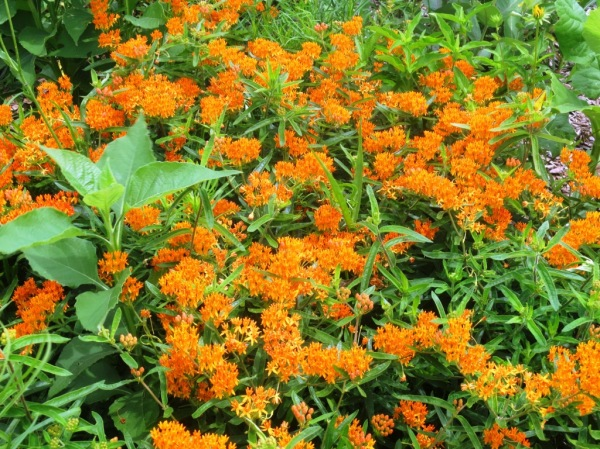 butterfly weed aesclepias learning fields june5.