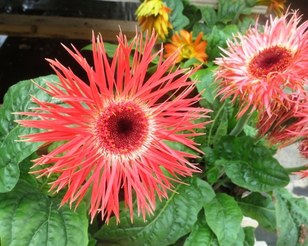 gerbera fringed june