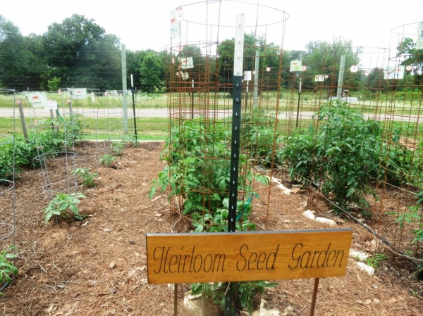 heirloom tomato planting learning fields june5.2