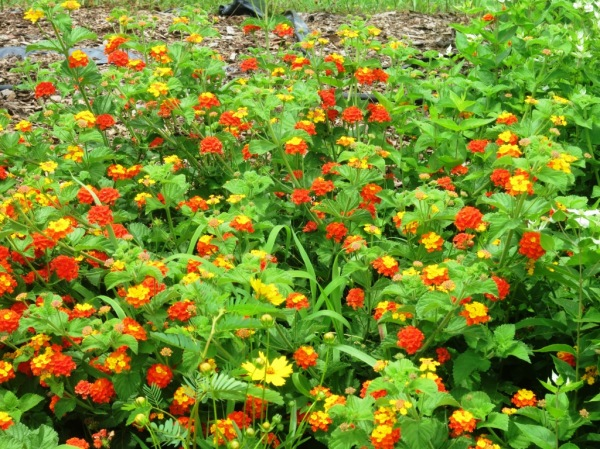 lantana overwintered ft. smith.