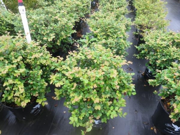 loropetalum jade confetti conway june9.