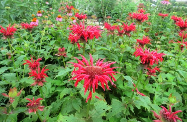 monarda red conway june9