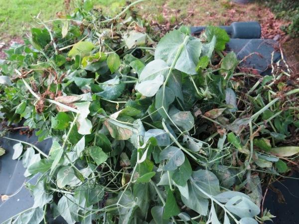 pea harvesting2