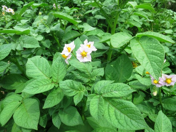 potato plants with blooms