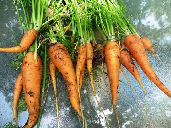 carrots july 13.2