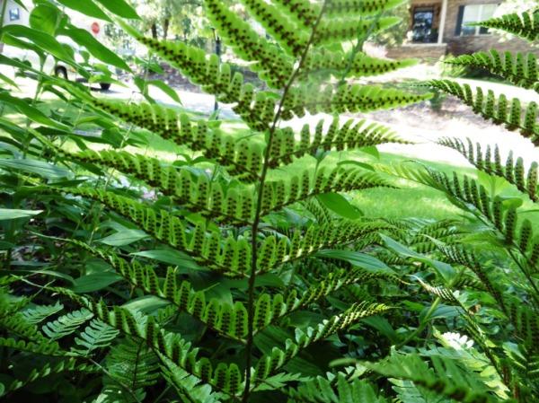 fern - autumn fern with spores. july 15.