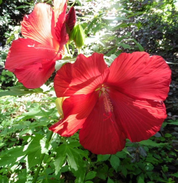 hardy hibiscus july 15.1