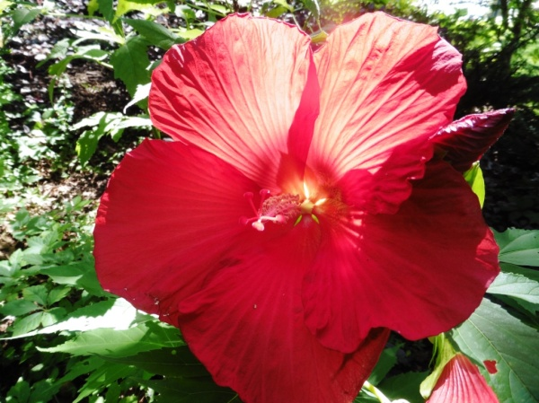 hardy hibiscus july 15.2