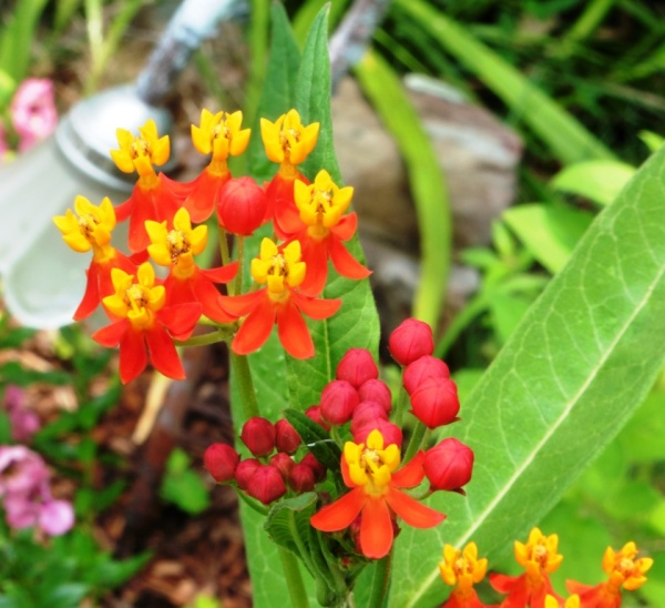milkweed tropical july 21