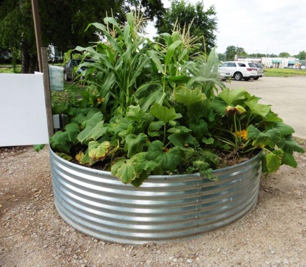 nashville demonstration organic garden.july15.10