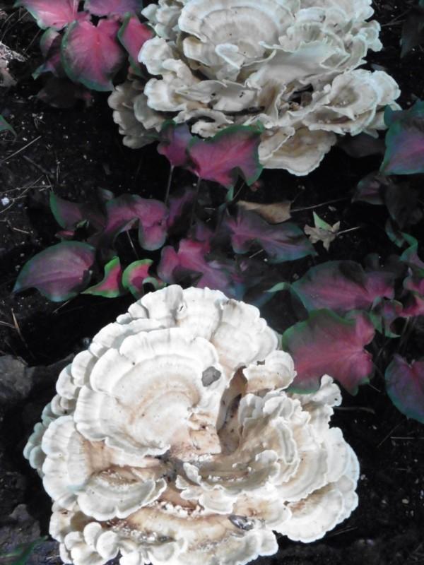shelf fungi garvan3