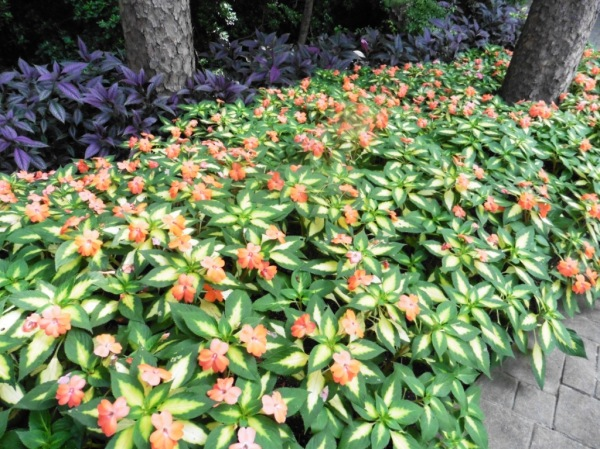 sunpatiens garvan july 8.3
