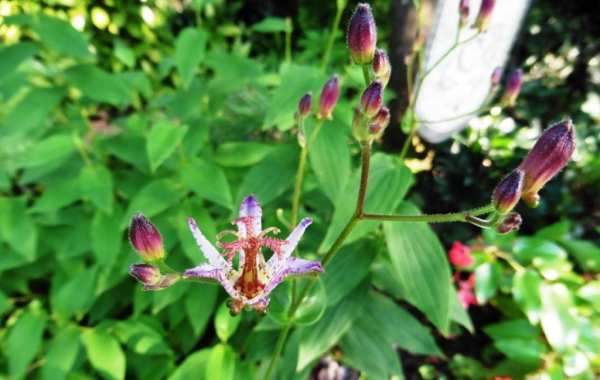 toad lily july 24.2