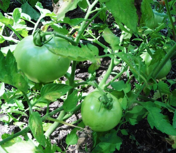 tomatoes july 13.2