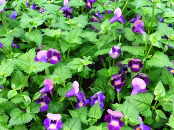 torenia garvan july8