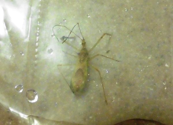 assassin bug aug18.14.1