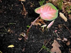 caladiums aug1.14.2