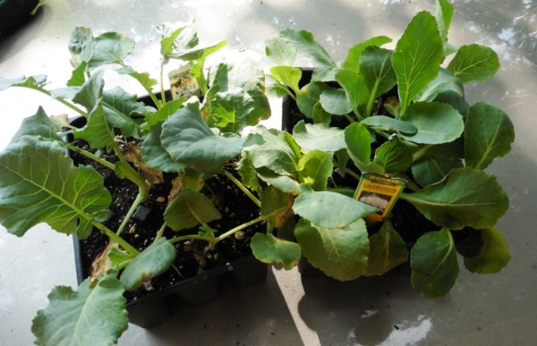 cole crop transplants