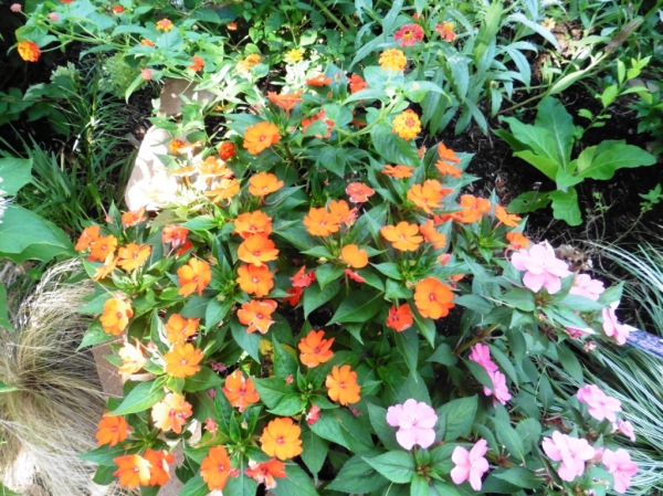 impatiens sunpatiens. aug17.143