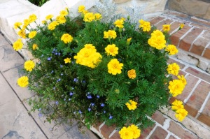 marigolds and lobelia.aug4.14