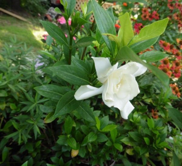 mystery plant a.aug18.09