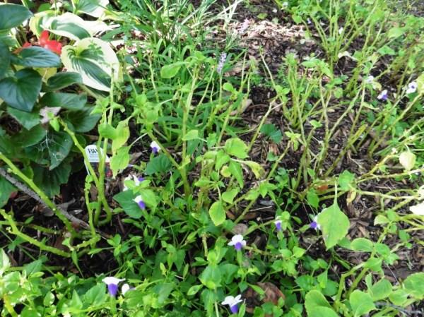 mystery plant a.aug18.11