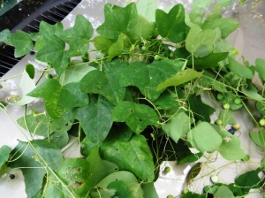 mystery plant aug4..111