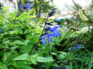 salvia black and blue aug5.14