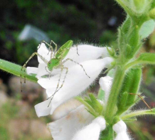 sesame seed plant and spiders.aug17.14.3