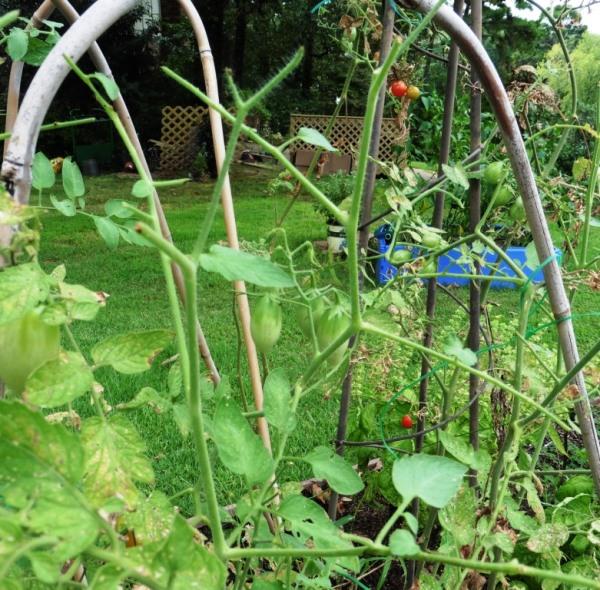tomato hornworm aug31.14.1