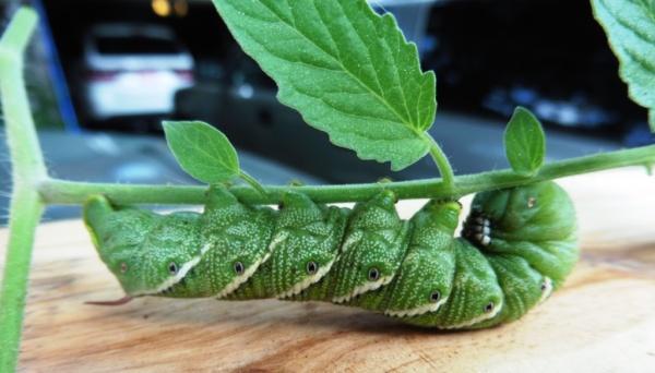 tomato hornworm aug31.14.3