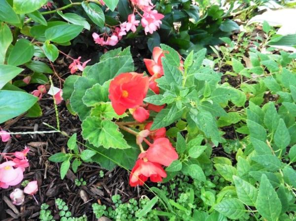 tuberous begonia aug17.14.