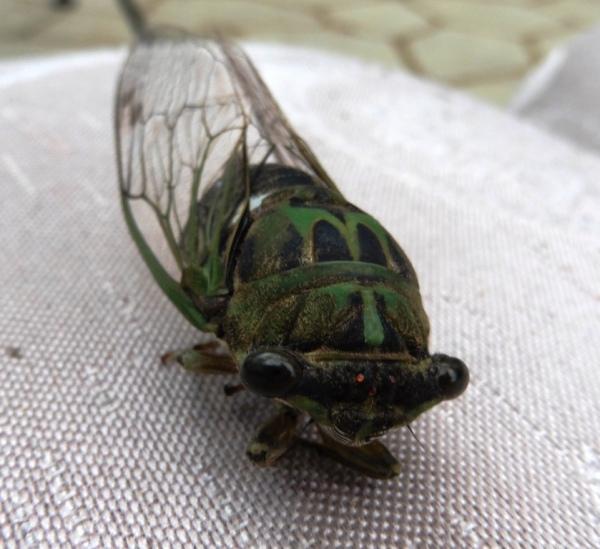 cicada sept1.142