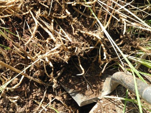 cogon grass roots