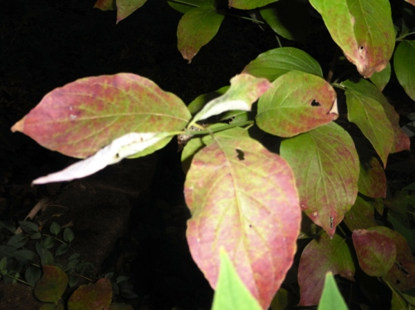 dogwood coloring sept17.14
