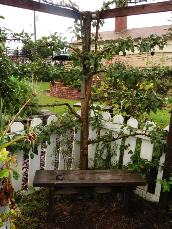 espaliered apple tree sept5.14.