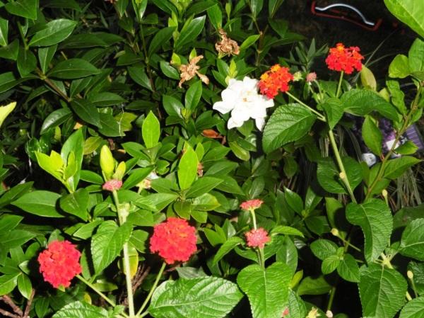 gardenias and lantana sept17.14