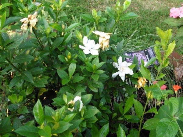 gardenias sept3.14.1