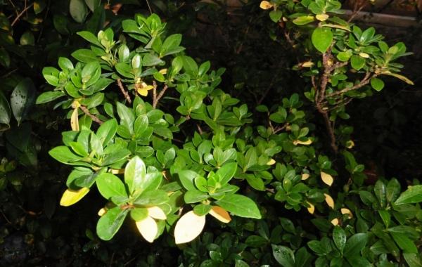 gardenias sept3.14.2