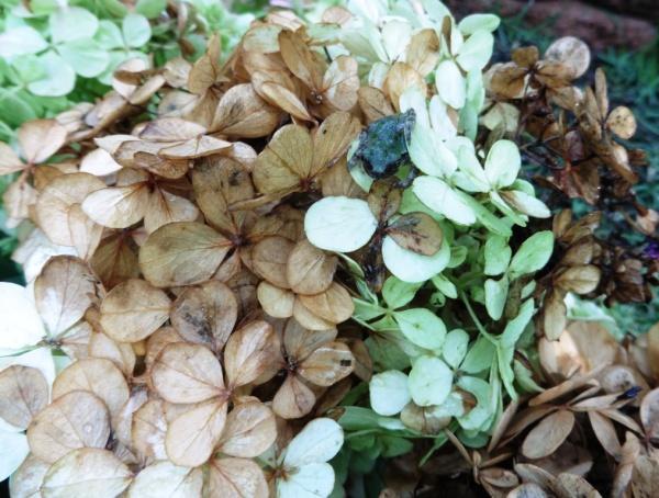 hydrangea pruning sept1.14.2