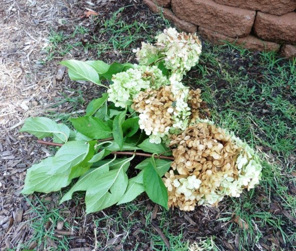 hydrangea pruning sept1.14.3
