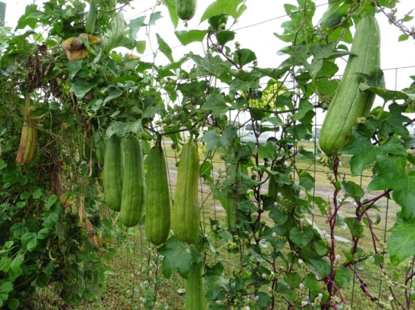 luffa gourds sept 5.14
