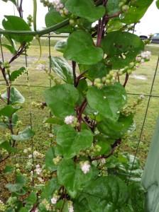 mystery plants sept 2014.14
