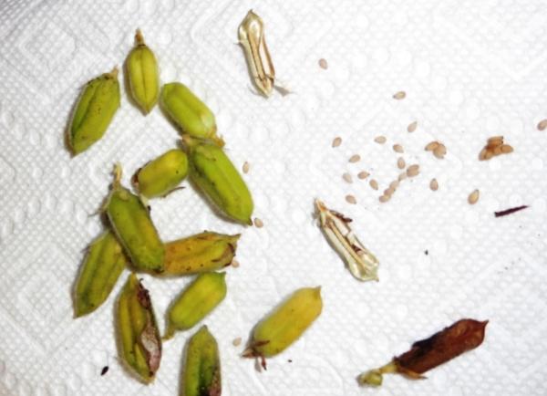 sesame seed harvest sept3.14
