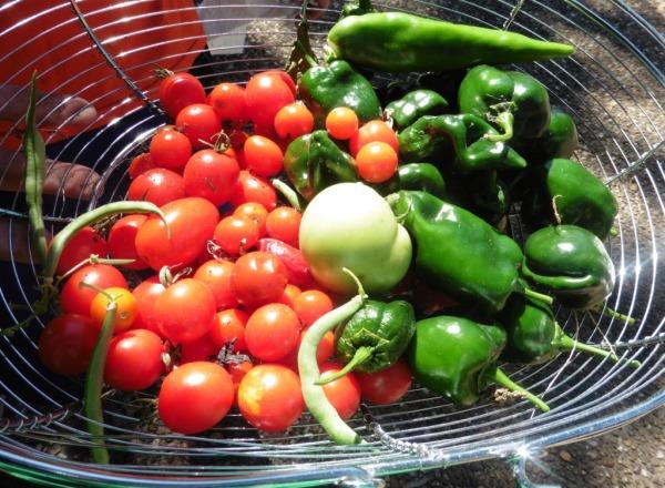tomato and pepper harvest sept23.14.1