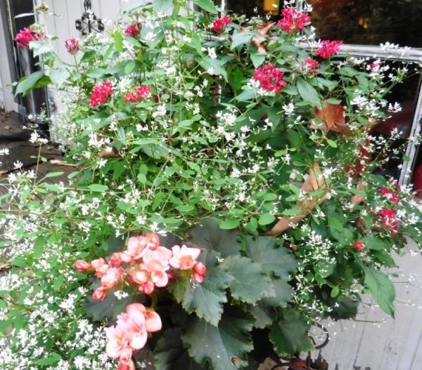 tuberose begonia and euphorbia sept17.141